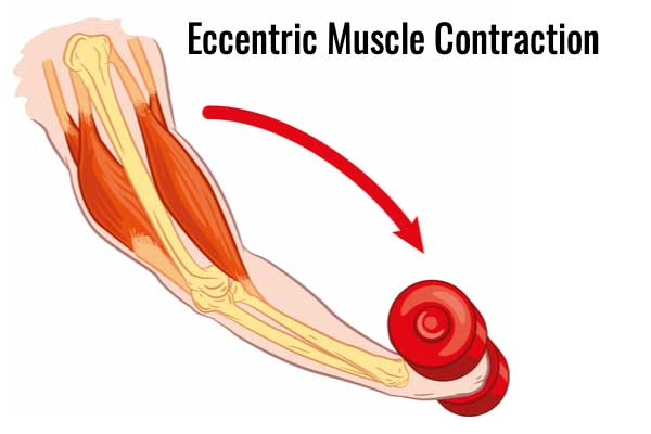 Eccentric muscle contraction bicep curl